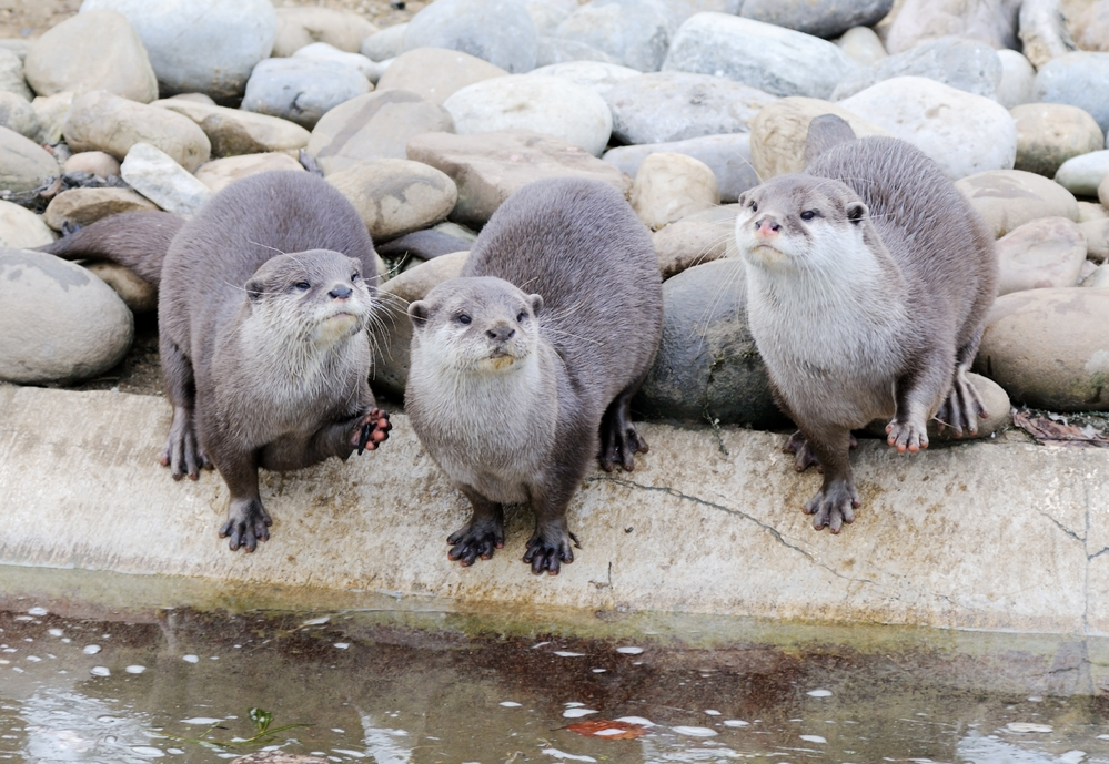 Three cute otters by the water edge